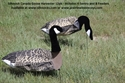 Picture of Canada Goose Decoys Harvester 12pk - SS1906
