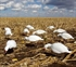 Picture of *FREE SHIPPING* Pro-Grade Snow Goose Shell Decoys Harvester 12 Pack by Greenhead Gear GHG
