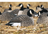 Picture of AXP Painted Honker Shell Decoys (Z9010) by Avian X Decoys Zink Calls