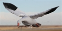 Picture for category SNOW GOOSE CLONE DECOYS