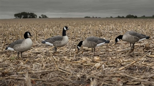 Picture of **SALE** Hunter Series Lesser Canada Goose Decoys - FEEDER 6 Pack by Greenhead Gear GHG Avery Outdoors