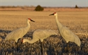Picture for category Sandhill Crane Decoys
