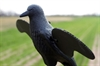 Picture of **FREE SHIPPING** MOJO CROW BY MOJO OUTDOORS